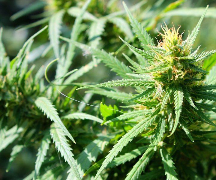 Cannabis pot